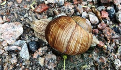 Small garden snail in shell crawling on wet road, slug hurry home. Snail slug consist of edible tasty food coiled shell to protect body. Natural animal snail in shell slug crawling in big wild nature.