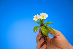 Small garden white primrose primula plant with blooming flowers and unearthed roots held by Caucasian male hand studio close up shot isolated on blue background.