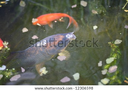 Small ghost koi carp stock photo 12306598 shutterstock for Mini carpe koi