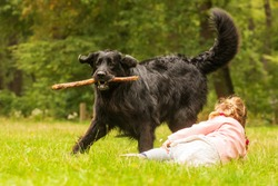 small girl is plying with big black dog hovawart