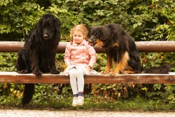 small girl is plying with two dogs hovawart on the bench