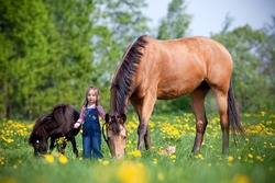 Small girl standing with two horses in a field. A child standing together with a big trakehner horse and small pony outdoor in springtime.
