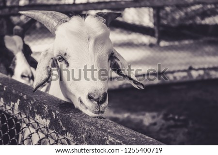 Small goat looking at the camera in grey toned color picture