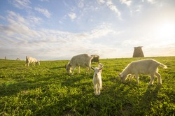 small goats and sheep grazing in a meadow near a windmill
