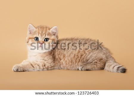 small golden british kitten on light brown background