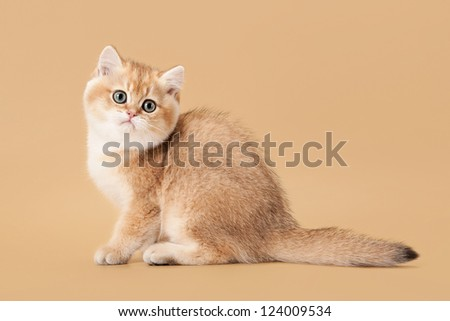 small golden british kitten on light brown background - stock photo