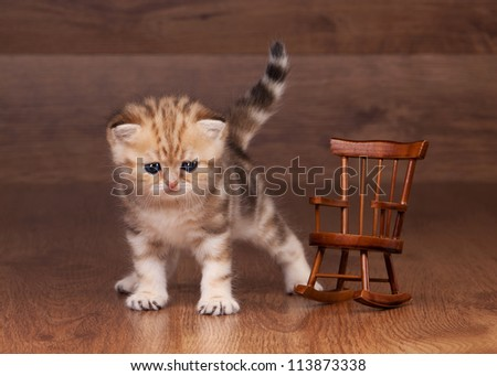 small golden british kitten on table with wooden texture in red cup