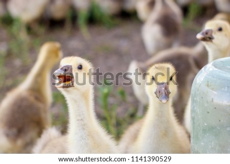 small goslings on a cattle-breeding farm in the village #1141390529