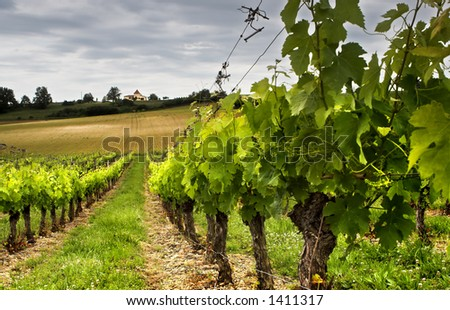 Small grapes growing in a French vineyard