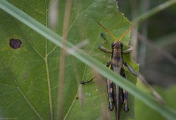 Small grasshopper posing on the edge of a green leaf peacefully.