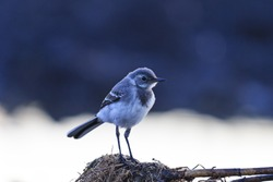 small gray bird and cold morning,young, greenhorn, wild birds, insectivores