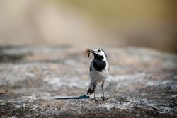 Small gray bird of white wagtail (Motacilla alba) on rocks background