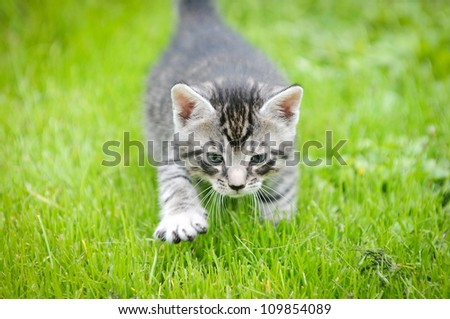 small gray cat walking on green grass