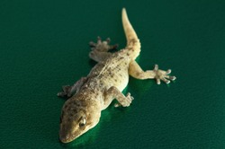 Small Gray Gecko Lizard on a Colored Background