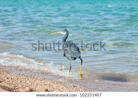 small gray heron walking on the beach in Egypt