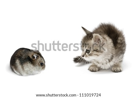 Small gray kitten looking on hamster isolated on white background