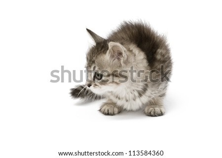 Small gray kitten looking somewere isolated on white background