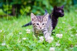small gray kitten on the grass, outdoor