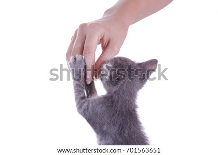 Small gray kitten playing with hand isolated on white background. #701563651