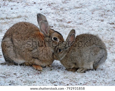 Small gray rabbit or hare with mum sitting together. Sweet bunny rabbits hare - mother and baby. Wild rabbit or hare in a winter field with first snow. Rabbit (hare) with cub in its natural habitat.