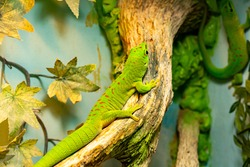 Small green and yellow Madagascar day gecko sit on the branch close-up. Reptile Phelsuma breathes under the bright sun in the jungle.