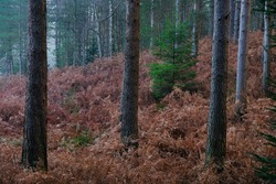 Small green fir sapling standing within large mature fir trees in fog. Brown bracken is on the ground and there is a soft ligh on the trees.