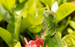 Small Green Iguana/lizard