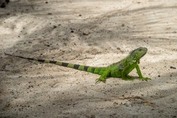 Small green iguana on the sand. Johnny Cay, San Andres, Colombia