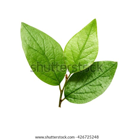 Small green leaves isolated on white #426725248