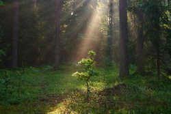Small green oak tree illuminated with bright sunbeams in forest. Summer forest background. Forest with sunlight.