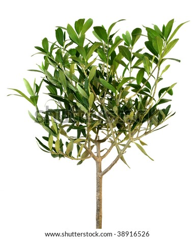 Small green olive tree isolated on white