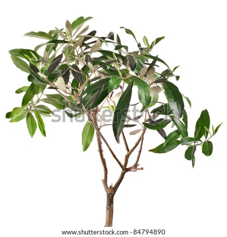 Small green olive tree isolated on white background - stock photo
