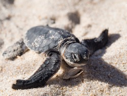 Small green sea turtle (Chelonia mydas), also known as black (sea) turtle, or Pacific green turtle on his way to the sea on a beach in Tanzania, Africa, seconds after hatching from his egg.