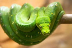 Small green snake, python. Animals