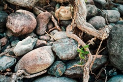 Small green sprout of tree grows from roots. Nature sunny background of beautiful roots of deciduous tree on stony shore. Tree grows on pile of stones. Vitality plants. Snags on boulders in sunlight.