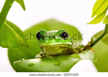 Small green tree frog sitting on the fresh leaves