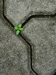 small green tree grow on the groove of the stone block walkway texture