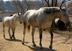 Small grey horse following large grey  thoroughbred horse, follow the leader.