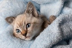 Small grey kitten with blue eyes lay on a soth white fluffy blanket