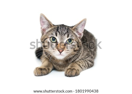 Small, grey tabby kitten sits on a white background