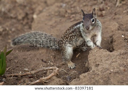 Small ground squirrel looking for food