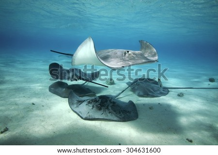 SMALL GROUP OF GREY STINGRAY SWIMMING AROUND