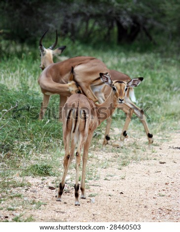 small group of impalas