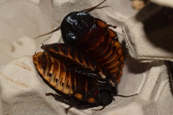 Small group of Madagascar hissing cockroaches (Gromphadorhina portentosa)