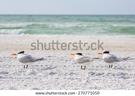 Small group of royal terns sea birds stand on sandy Siesta Key beach in Florida