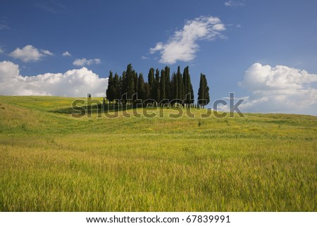 Small group of Tuscany cypresses on the wheat hill