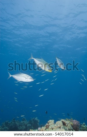 Small group of Yellow-dotted trevally (carangoides fulvoguttatus) hunting the reef. Naama Bay, Sharm el Sheikh, Red Sea, Egypt.