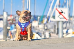 Small happy French Bulldog wearing a maritime sailor dog harness sitting in front of blurry yacht marina on sunny summer day