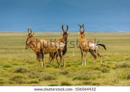 Small heard of red hartebeest (Alcelaphus caama) in Mountain Zebra National Park, South Africa