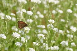 Small heath (Coenonympha lyllus) sitting on white flower in green meadow with many wild flowers. Insect pollination in summer. Fragile butterfly in nature, beautiful outdoors in Rastatt, Germany.